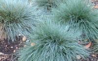 The-Dirty-Gardener-Festuca-Glauca-Blue-Fescue-Ornamental-Grass-250-Seeds-38.jpg
