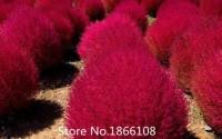 home-garden-1000-Pieces-Adaptability-Super-Plants-Seeds-Bassia-Scoparia-Red-Lantern-Seeds-Gold-Kochia-Scoparia-Grass-Plus-M-37.jpg