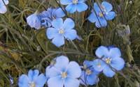 flax-blue-SUN-PERENNIAL-flower-240-seeds-GroCo-11.jpg