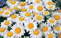 Shasta-Daisy-Perennial-Full-Sun-Daisy2.jpg