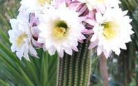 Trichocereus-Spachianus-rare-echinopsis-plant-flowering-succulent-seed-15-seeds-47.jpg
