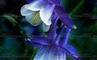 ANVIN-Seeds-Package-Bag-Fuchsia-Seeds-Fuchsia-Flowers-Lantern-flowerseeds-Bonsai-Flower-Seeds-Seed-for-Home-Garden-41.jpg