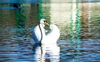 Home-Comforts-Peel-n-Stick-Poster-of-White-Swan-Swim-Water-Bird-Beautiful-Pond-Vivid-Imagery-Poster-24-x-16-Adhesive-Sticker-Poster-Print-65.jpg